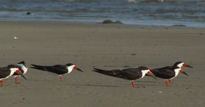 Back Skimmers (Rynchops niger) congregating on a Mississippi beach