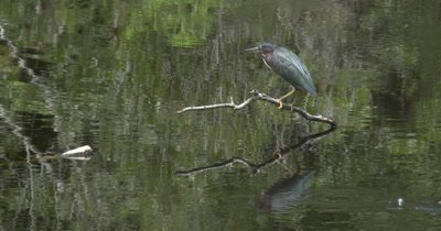 A Green Heron (Butorides virescens) forages in an urban pond