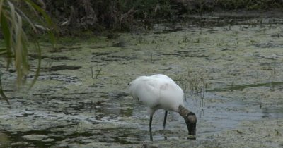 A Wood Stork (Mycteria americana) Forages in an urban pond