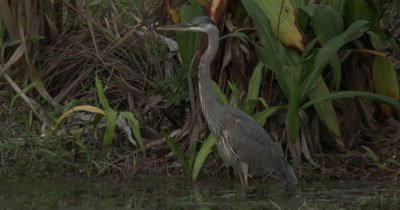 A Great Blue Heron (Ardea herodias) forages and stalks prey in an urban pond