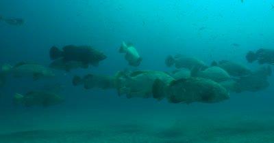 Goliath Grouper (Epinephelus itajara) During spawning aggregation on the Treasure Coast of Florida