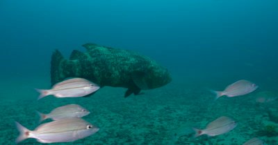 Goliath Grouper (Epinephelus itajara) During spawning aggregation on the Treasure Coast of Florida