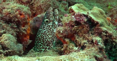 A solitary Spotted Moray Eel (Gymnothorax mooring) on a reef in Florida, Very Green Water