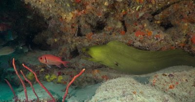 A solitary Green Moray (Gymnothorax funebris) on a reef in Florida, Very Green Water