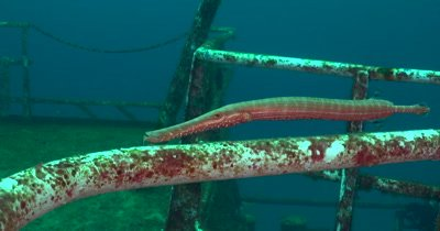 Atlantic trumpetfish (Aulostomus strigosus) Blending into a shipwreck and reef