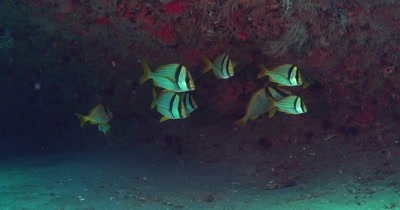 Atlantic Porkfish (Anisotremus virginicus), small school under a ledge