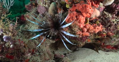 Lion Fish displays over a portion of reef