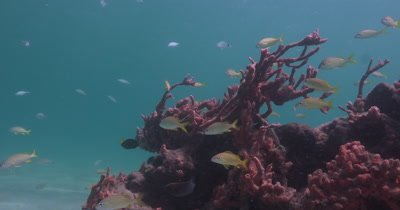 Juvenile snappers and other reef fish swim in current near soft corals and sponges