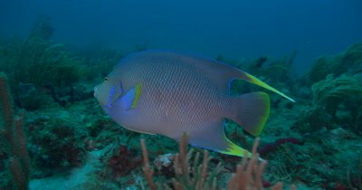A Townsend Angelfish (Holscanthus townsendi) High bred Swims over a deep reef in Florida
