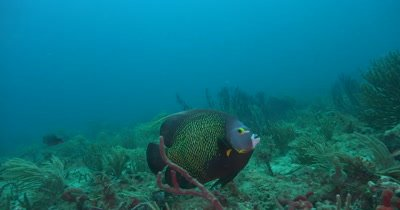 A French Anglefish (Pomacanthus pari) Foraging over a deep reef in Florida
