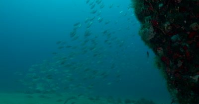 Large schools of silver fish live on Florida's ship wrecks and reefs