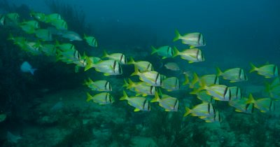 Atlantic Porkfish (Anisotremus virginicus), small school over a reeft
