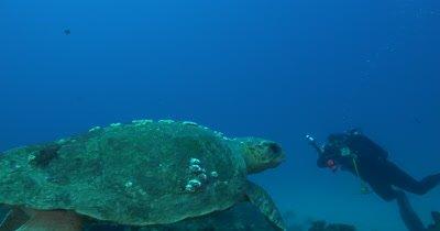 A Giant Loggerhead Sea Turtle (Caretta caret) Swims over Deep Reefs of Florida's Treasure Coast