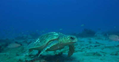 A Giant Loggerhead Sea Turtle (Caretta caret) Swims over Deep Reefs of Florida's Treasure Coast