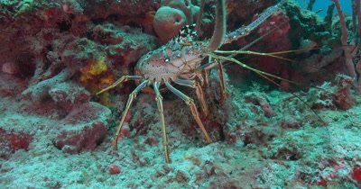 Tropical Spiny Lobster on a reef in Florida