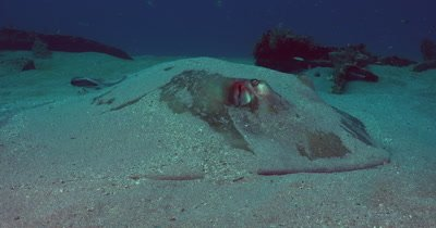 Southern Stingray (Dasyatis americana) hiding in the Sand