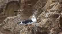 Western Gull (Larus Occidentalis) Sitting On Face Of A Cliff