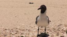 Laughing Gull (Larus Atricilla) Stands On Tropical Beach With Waves Lapping The Shore Facing Camera