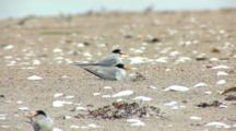 Least Tern (Sternula Antillarum) Parents And Chicks Together At Nest On Beach