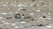 Least Tern (Sternula Antillarum) Adult And Chick Together On Beach