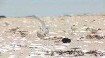 Least Tern (Sternula Antillarum) Adult Lands With Fish In The Middle Of Several Chicks