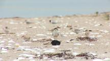 Least Tern (Sternula Antillarum) Adult Shakes Fish In The Middle Of Several Chicks