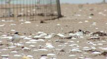 Least Tern (Sternula Antillarum) Adults & Chicks In Front Of Plover Exclosure