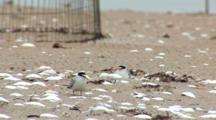 Least Tern (Sternula Antillarum) Adults & Chicks In Front Of Plover Exclosure, Adult Yawns & Flexes