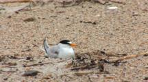 Least Tern (Sternula Antillarum) Adult Sitting On Nest And Looking About