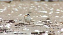 Least Tern (Sternula Antillarum) Adult Standing On The Beach With Fish In Mouth While Looking About