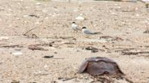 Least Tern (Sternula Antillarum) Adults Stand Near Horseshoe Crab Carapace