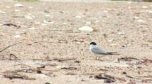 Least Tern (Sternula Antillarum) Adults Stand Near Horseshoe Crab Carapace, Shot Zooms Out