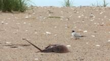 Least Tern (Sternula Antillarum) Adults Stand Near Horseshoe Crab Carapace, Lots Of Activity In Shot