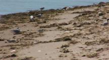 Least Tern (Sternula Antillarum) And Piping Plovers (Charadrius Melodus) Together Near The Water, Both Threatened Species