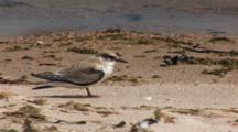 Least Tern (Sternula Antillarum) Fledged Chick On Beach, Near The Water