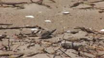 Least Tern (Sternula Antillarum) Fledged Chicks On Beach, Stretching Wings