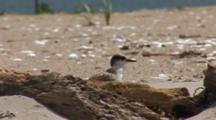 Least Tern (Sternula Antillarum) Fledged Chicks On Beach, Stretching Wings While Hiding Behind Driftwood