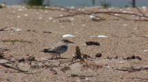 Least Tern (Sternula Antillarum) Fledged Chicks On Beach