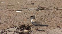 Least Tern (Sternula Antillarum) Fledged Chick Looks About On Beach