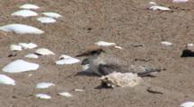 Least Tern (Sternula Antillarum) Fledged Chick Very Still On Beach, Hiding