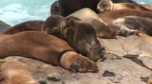 California Sea Lion (Zalophus Californianus) On Rocks With Neck Cut By Gill Net And Starving Pup