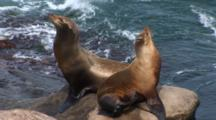 California Sea Lion (Zalophus Californianus) Pair On Rocky Point Resting Or Displaying, Sunning And Scratching, Ocean In The Background