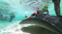 Southern Stingray (Dasyatis Americana) Swims Over Sand With Snorkelers Observing & Petting Ray