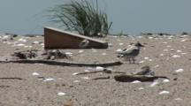 Least Tern (Sternula Antillarum) Fledged Chicks On Beach Near Chick Boxes And Artifical Habitat