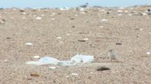 Least Tern (Sternula Antillarum) All Over Beach And Near Plastic Bag