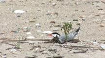 Common Tern (Sterna Hirundo) Near Plant On Beach