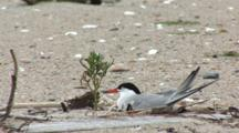 Common Tern (Sterna Hirundo) Bird On Nest