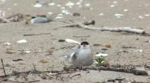 Common Tern (Sterna Hirundo) Bird On Nest, Stretches Wing