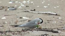 Common Tern (Sterna Hirundo) Bird On Nest, Preening Feathers