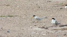 Least Tern (Sternula Antillarum) Pair On Beach, One Has Fish And One Has Chick